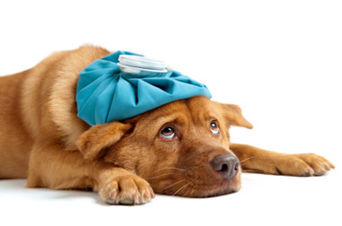 dog, sick pet