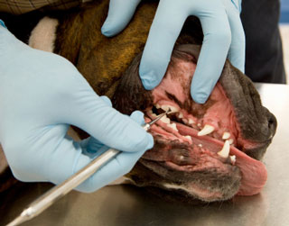 Signs, Symptoms and Odds of Your Dog Acquiring Gum Disease