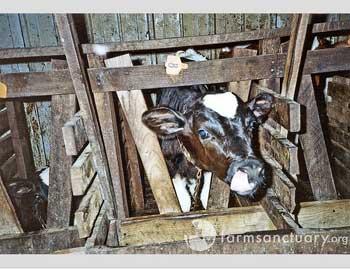 Calf abuse