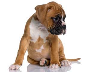 Dog sitting Anal gland