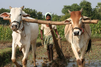 India Monsanto farmer in a field