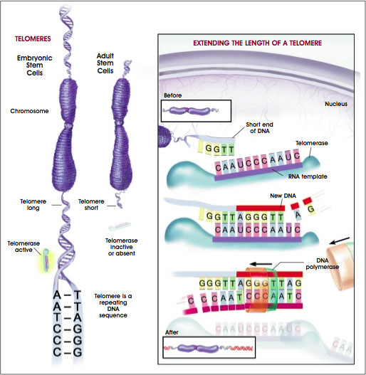 Extending the Length of a Telomere