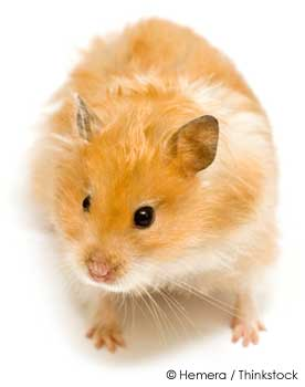 Pet Golden or Syrian Hamster