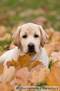 cocoa bean mulch toxic to dogs