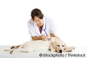 vet checking pet's heart