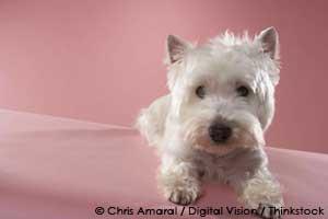 pet terrier