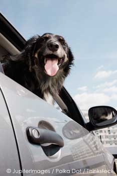 Pet Dog hangs Head out of car window