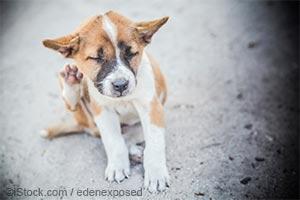 Un chien qui se gratte, qui sent mauvais ? Le problème pourrait bien être une mycose...