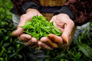 Olejek z drzewa herbacianego: cudowny środek!