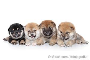 무책임한 분양업자(Breeder)와 강아지 공장(Puppy mills) 출신의 개들은 더 많은 행동 문제(Behavior Issues)를 보입니다.
