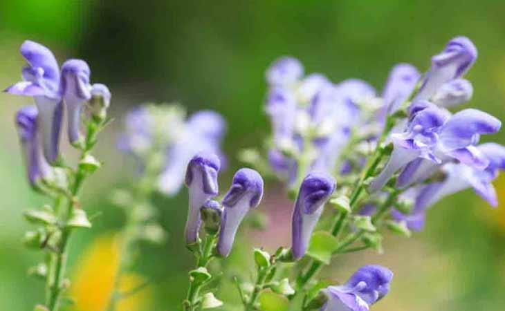 美黄岑:一种有助于恢复和放松的草药
