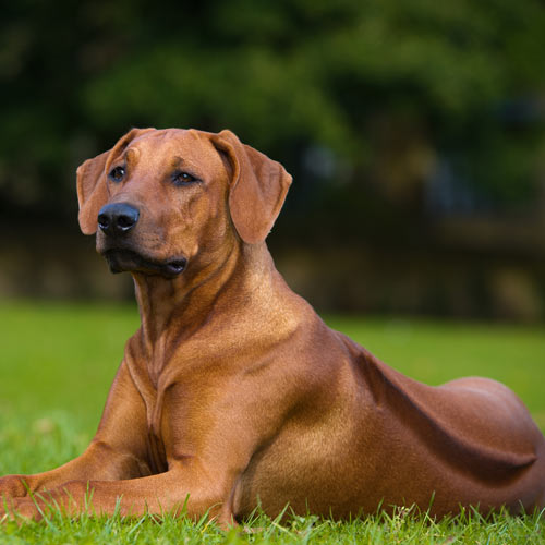 Rhodesian ridgeback puppy#source%3Dgooglier%2Ecom#https%3A%2F%2Fgooglier%2Ecom%2Fpage%2F%2F10000