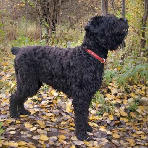 Russian black terrier#source%3Dgooglier%2Ecom#https%3A%2F%2Fgooglier%2Ecom%2Fpage%2F%2F10000