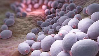 bactérias candida albicans