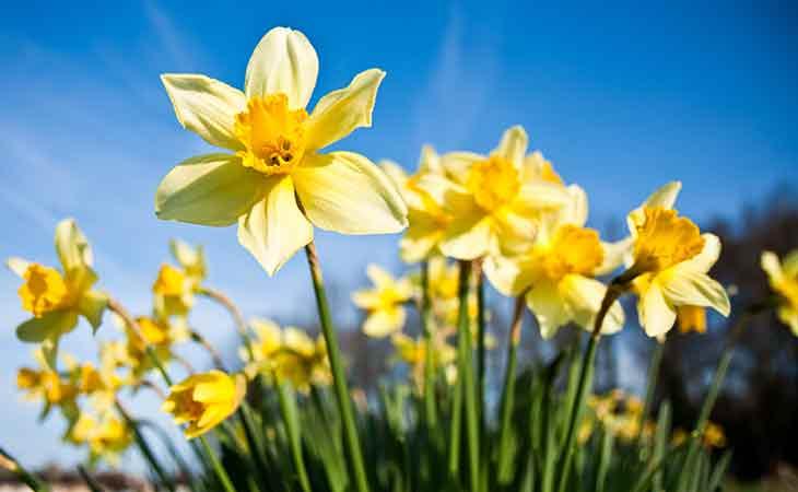 水仙花含有强大的生物碱