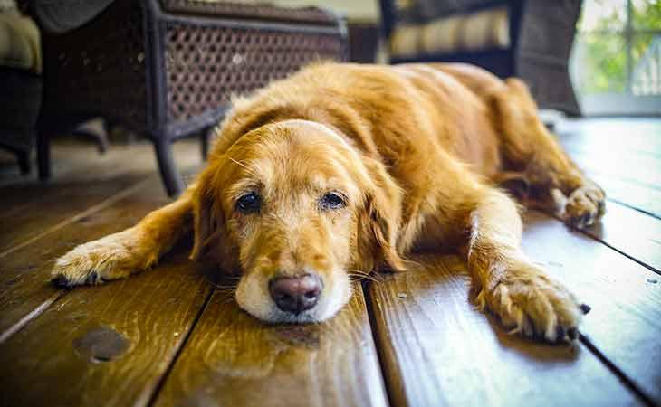 宠物衰老的迹象:认知衰退还是身体疾病?