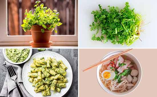 Cultive seu próprio coentro para preparar pratos, extrair o óleo essencial e diversos outros fins