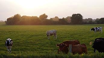 vaches broutant dans un champ