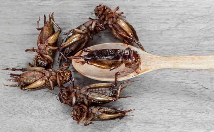 食用蟋蟀有益肠道健康