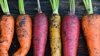 Comment faire pousser des carottes de toutes les couleurs