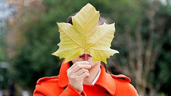 단풍 나무 잎 추출물