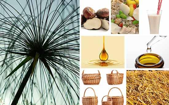 莎草的不同用途及潜在健康益处