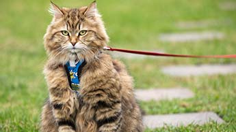목줄을 한 고양이 산책