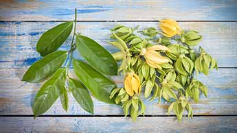 O Óleo de Ylang Ylang Não Apenas Suaviza sua Pele Como Também sua Mente
