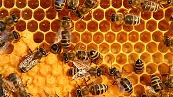 Propoli prodotto dalle api
