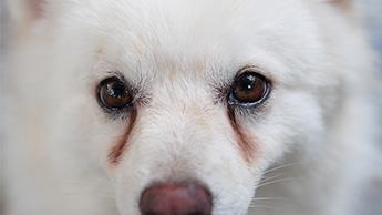 강아지 눈물 자국