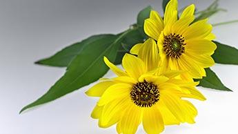 fleurs d'arnica