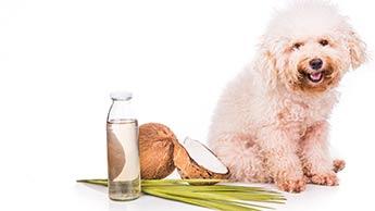 Un chien avec de l'huile de noix de coco