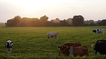 vacas pastando em um campo