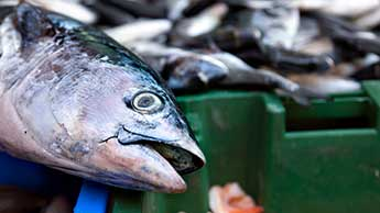 saumon mort