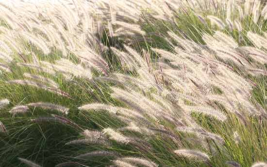 긴까락보리풀(Foxtail barley)