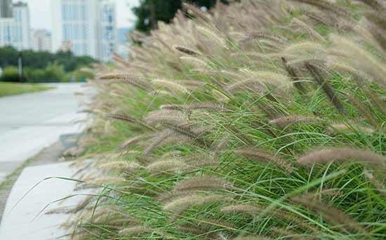가을강아지풀(Giant foxtail)