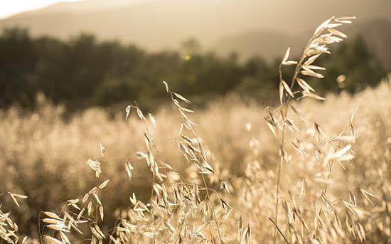 금빛 털빕새귀리(Golden cheatgrass)