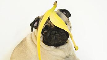 개가 바나나를 먹을 수 있을까요?