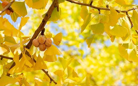 은행나무 열매