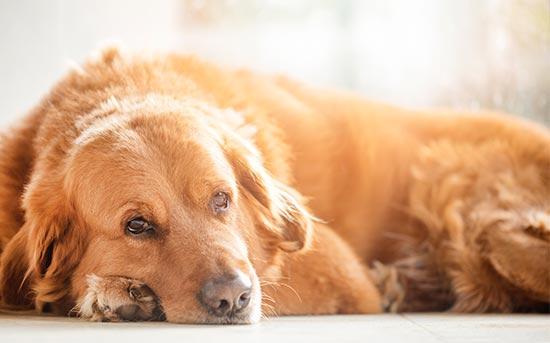 狗狗抑郁症
