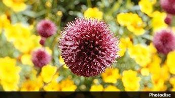 42 Blumen, die Sie essen können