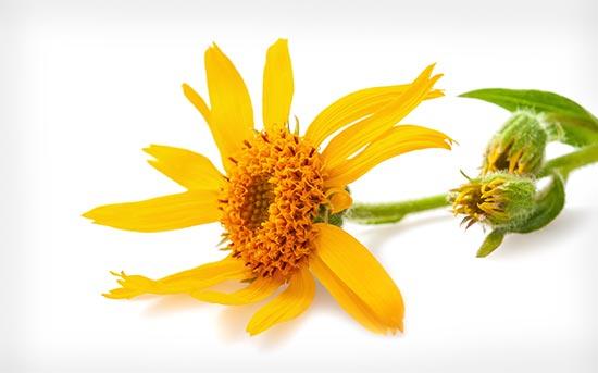 아르니카 꽃
