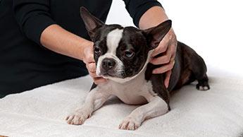 강아지의 피부 및 건강을 위한 코코넛 오일