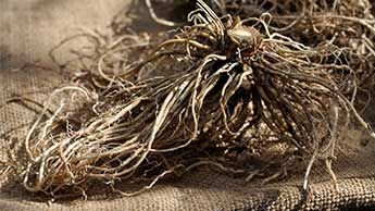 불안 치료제로서의 쥐오줌풀 뿌리(길초근)에 부작용이 있을까요?