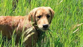 개가 풀을 먹는 이유는 무엇인가요?