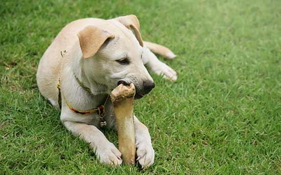 뼈다귀를 먹는 개