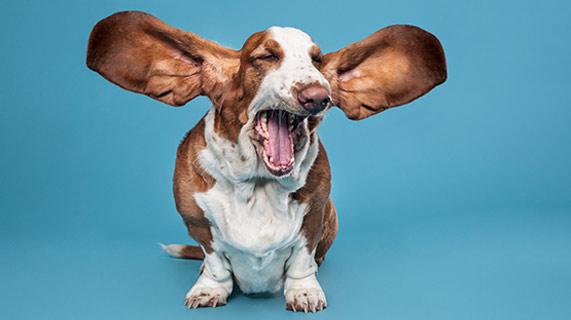 개 청력 손상