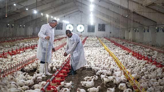 Frangos criados em fábricas são responsáveis por muitas infecções em humanos