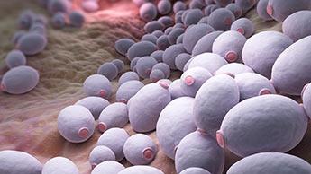 bactérie candida albicans