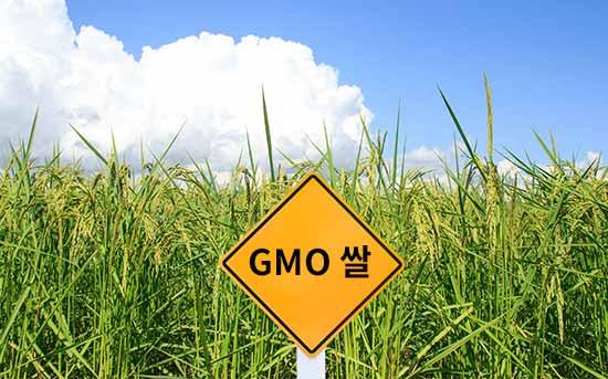 GMO 쌀
